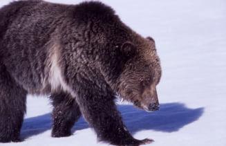 Exact clipul de care ai nevoie acum! Un urs abia trezit din hibernare, dupa cateva luni, n-are habar cum s-a schimbat lumea intre timp (Video)