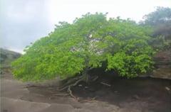 Exista in lumea asta un copac atat de toxic, incat nu poti sta sub el atunci cand ploua