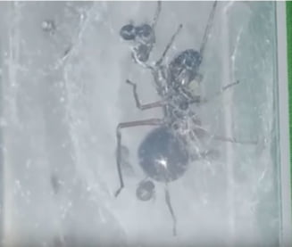 Exista o specie de insecta care isi alapteaza puii, precum mamiferele! (Video)