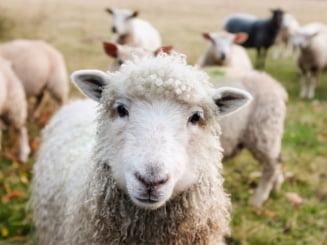 Expunerea la oi duce la o boala foarte grava, potential mortala - studiu