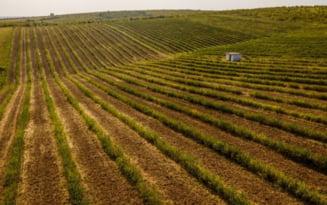 FOTO Cea mai mare plantatie de aronia din Romania se afla la Charlottenburg. Afacere sanatoasa cu regina fructelor de padure