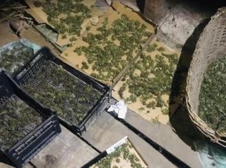 FOTO Peste un kilogram de muguri de cannabis, ridicati de la locuinta unui tanar din judetul Bihor