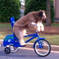 Faza haioasa a zilei: cainele care merge pe bicicleta (Video)
