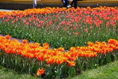 Feerie de culori si veselie la Simfonia Lalelelor, cu sprijinul CEZ Distributie