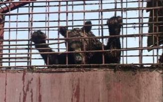 Ferma ilegala de ursi in curtea unui interlop aradean. Autoritatile nu au putut elibera animalele pentru ca se pare ca le e frica de proprietar
