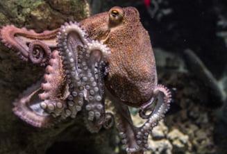 Fermele de caracatite, din ce in ce mai aproape de realitate. Specialistii atrag atentia ca nu e un lucru bun