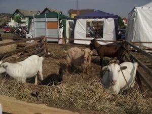 Fermierii crescatori de ovine si caprine din Alba cer rezolvarea situatiei prin care sunt nevoiti sa restituie subventiile primite de la UE. Vezi ce revendica