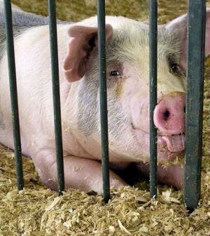 """Fermierii vor primi o """"compensare pentru bunastarea animalelor"""""""