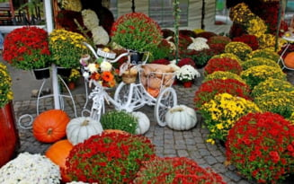 Festivalul Florilor de Toamna, o incantare pentru braileni, in ciuda frigului patrunzator de octombrie