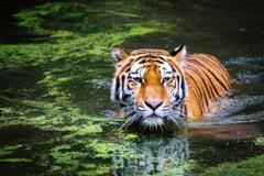 Final fericit pentru 9 tigri maltratati: Au ajuns cu bine la doua gradini zoo din Polonia