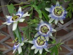 Floarea pasiunii te ajuta sa dormi mai bine si sa scapi de nervi