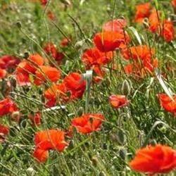 Flori de mai vindecatoare - macul rosu