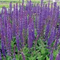Florile Maicii Domnului - salvia si beneficiile ei terapeutice