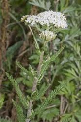 Florile de leac ale lunii iulie - coada soricelului