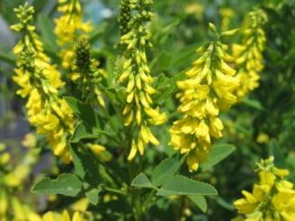 Florile de leac ale lunii mai - sulfina