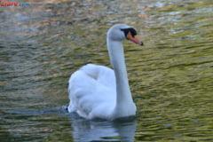 Focar de gripa aviara in Delta Dunarii