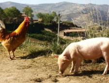 Focar de pesta porcina africana confirmat in Olt: Sunt peste 1.100 in toata tara, 361.000 de porci au fost omorati