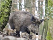 Focar de pesta porcina africana in Timis. Doi mistreti au fost gasiti morti