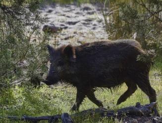 Focar de pesta porcina depistat in Timis, dupa ce cadavrele a trei porci mistreti au fost gasite la marginea unei paduri