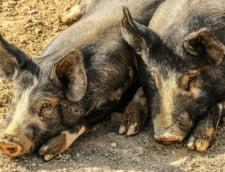 Focar de pesta porcina in Timis. Cadavrele a doi porci domestici, gasite pe marginea drumului