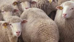Focar de scrapie la Sighisoara. Peste 200 de capre, sacrificate