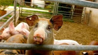 Focare active de pesta porcina africana in 18 gospodarii si in cinci exploatatii comerciale din Olt
