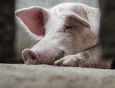 Focare de pesta porcina africana in trei localitati din Sibiu