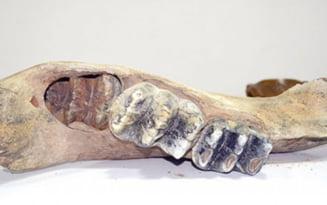 Fosile de animal preistoric, gasite la Vaslui - un stramos al rinocerului