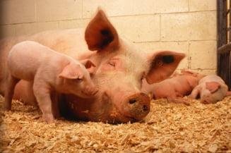 Franta construieste un gard la granita cu Belgia, pentru a se proteja de pesta porcina