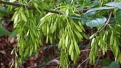 tratamentul artrozei cu arbori de bani