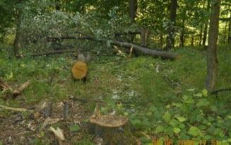 Furt de lemne din padure reclamat de localnici de ani de zile, confirmat de Ministerul Mediului. Procurorii ancheteaza taierile ilegale din Vrancea