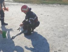 GALERIE FOTO O lebada a fost salvata de pompieri din namolul Lacului Sarat din Braila, in urma unui apel la 112