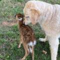 GALERIE FOTO Un labrador a salvat de la inec un pui de caprioara. Imaginile care au surprins emotionantul moment au ajuns virale