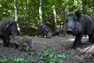 Germania va ridica un gard la granita cu Polonia pentru a se proteja de pesta porcina africana