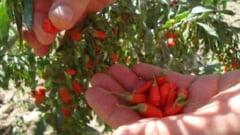 Goji, o planta medicinala in care investesti putin si scoti un profit sanatos