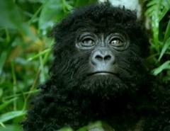 Gorilele salbatice, surprinse pentru prima data in astfel de posturi. Au fost spionate cu gorile false (Video)