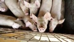 Gospodarii din Alba se REVOLTA impotriva ordinului care le interzice sa aiba mai mult de 5 porci in gospodarie