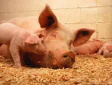 Gospodarii dintr-un sat din Tulcea stau de 3 zile cu porcii morti de pesta in batatura. Autoritatile scapa boala de sub control, pe zi ce trece