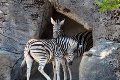 Gradina zoologica acuzata ca a vopsit un magar ca sa semene cu o zebra (Foto)
