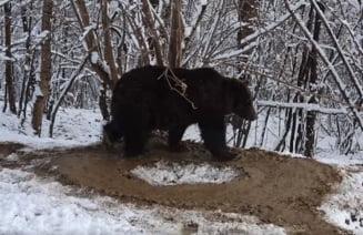 Gradina zoologica din Piatra Neamt va fi desfiintata din cauza traumei ursoaicei Ina. Animalul continua sa se invarta in cerc, eliberat dupa 20 de ani de captivitate VIDEO