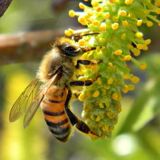 Greenpeace: Romania a pus gand rau albinelor