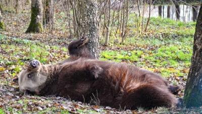 """Greseala majora a vanatorilor din Romania in problema ursilor. Agent Green: """"Se urmeaza modelul, mai mascat si putin stiut de oameni, din Africa de Sud"""""""