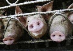 Gripa porcina: care sunt simptomele?