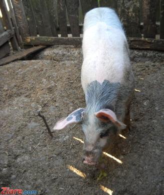 Gripa porcina africana pune autoritatile romane pe jar: Controale drastice la frontiera cu Ucraina
