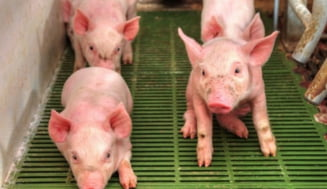 Gripa porcina revine: Exista riscul unei pandemii?