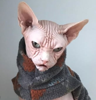 Grumpy Cat e de domeniul trecutului. O noua pisica morocanoasa e vedeta. O felina mai suparata nici ca ai vazut! (Galerie foto)