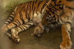 Haos la un celebru templu budist, dupa ce calugarii au lasat zeci de tigri in libertate