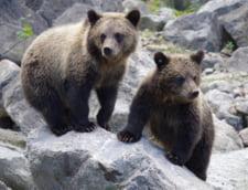Harghita: Mai multi ursi au fost indepartati din Baile Tusnad. Unul a intrat intr-un magazin