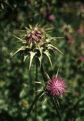 Hepatita, remedii naturiste