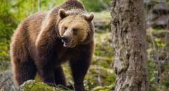 INCIDENT teribil la o stana din Transilvania! O femeie a fost ATACATA de o ursoaica